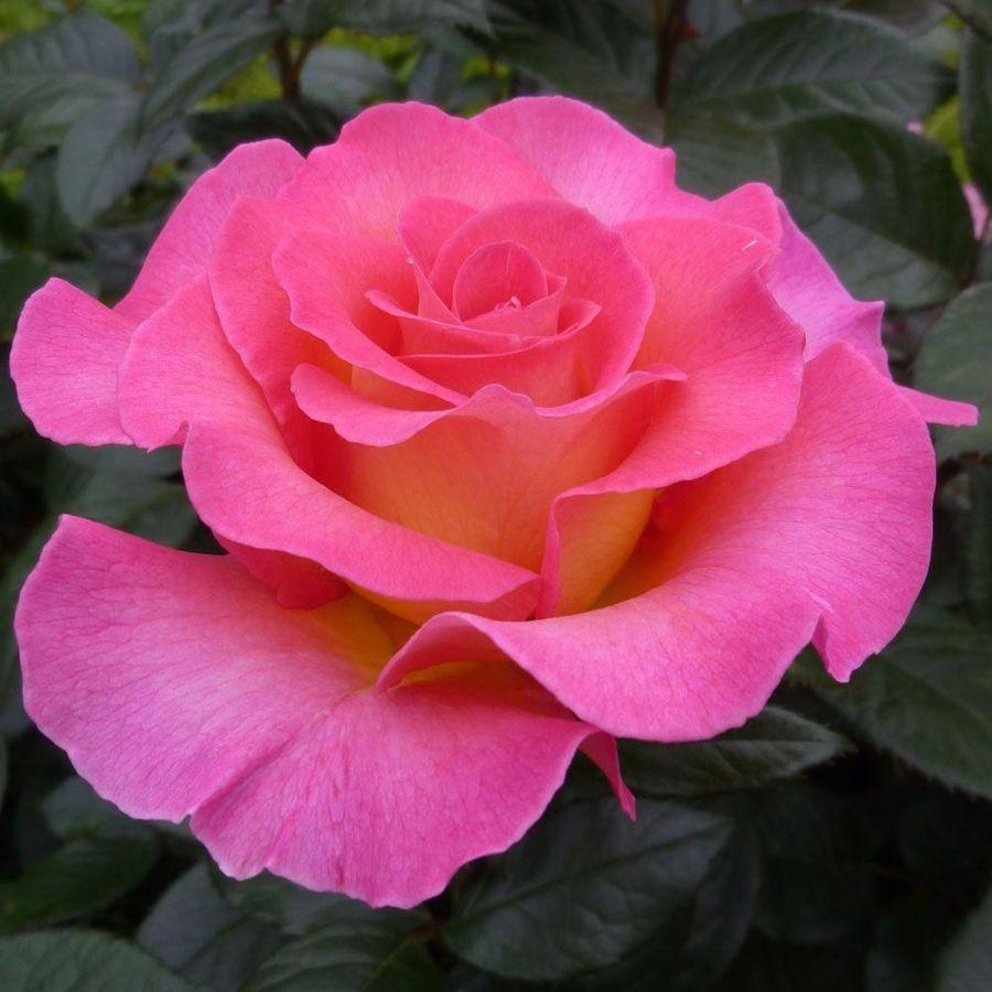 Роза Пинк Парадайз (Pink Paradise)