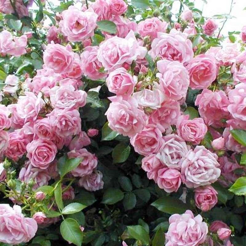 Троянда Джардина (Giardina)