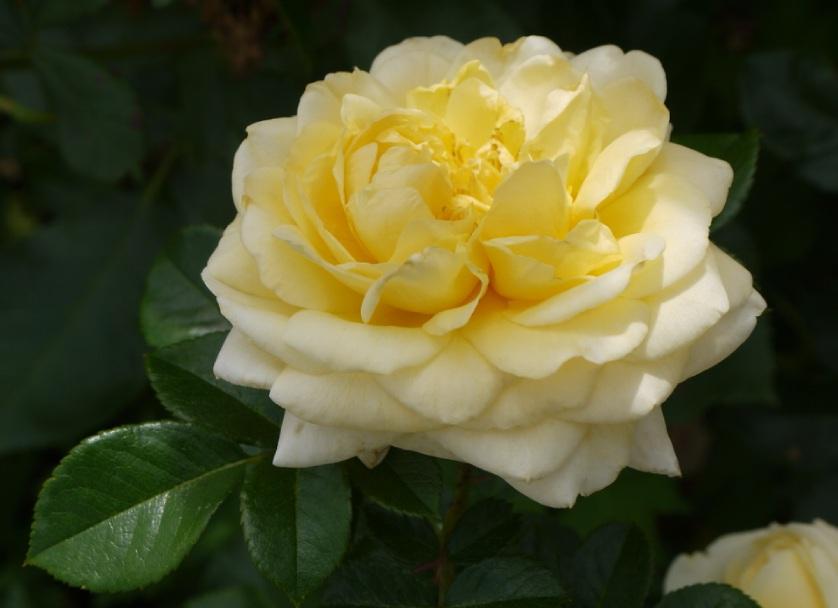 Роза Надя Мейяндекор(Nadia Meillandecor) непрерывноцветущая, почвопокровные розы
