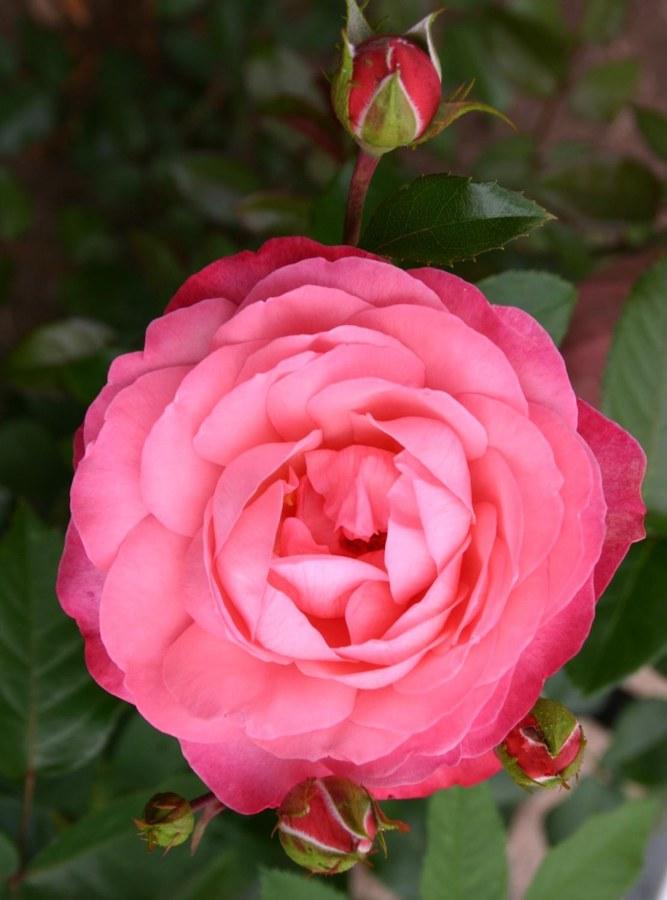 Роза Розанна(Rosanna) розовая роза, плетистые розы, устойчивая к болезням