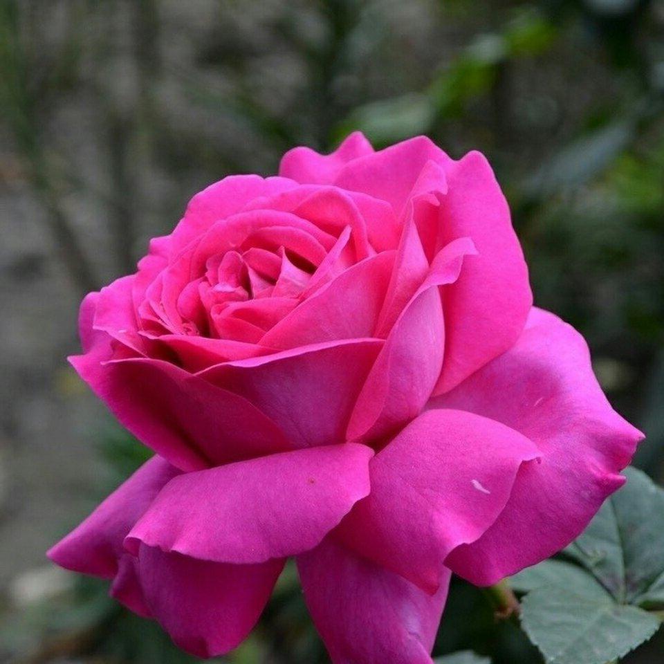Роза Шартрез дэ Парм (Chartreuse de Parme Parme) сиреневая роза, ароматные, устойчивая к болезням