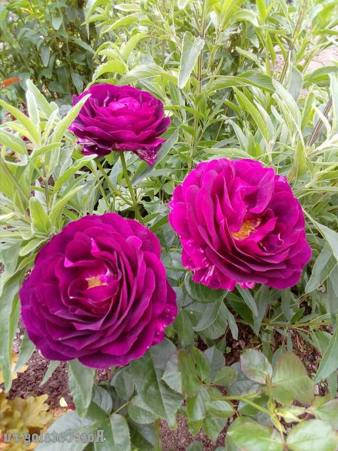 Роза Твайлайт Зоун (Twilight Zone) ароматные, фиолетовые розы