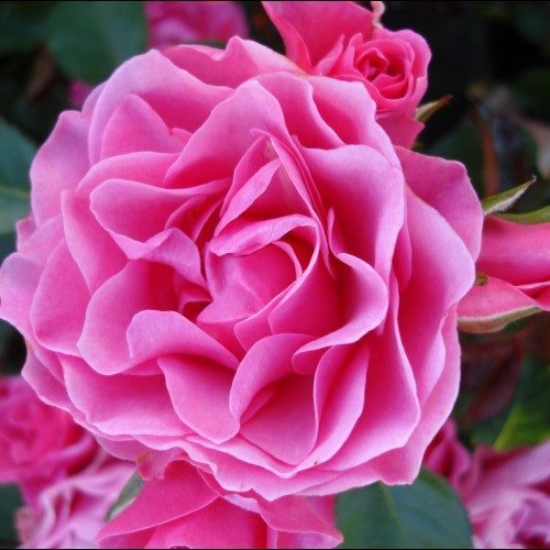 РозаАй Эм Грейтфул (I Am Grateful) розовая роза, устойчивая к болезням, почвопокровные розы