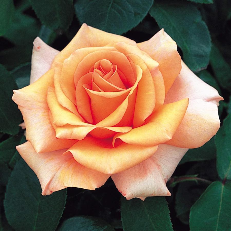 Роза Варм Вишес (Warm Wishes) ароматные, устойчивая к болезням, нетребовательны, персиковая роза