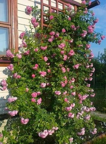Роза Жасмина (Jasmina ) розовая роза, плетистые розы