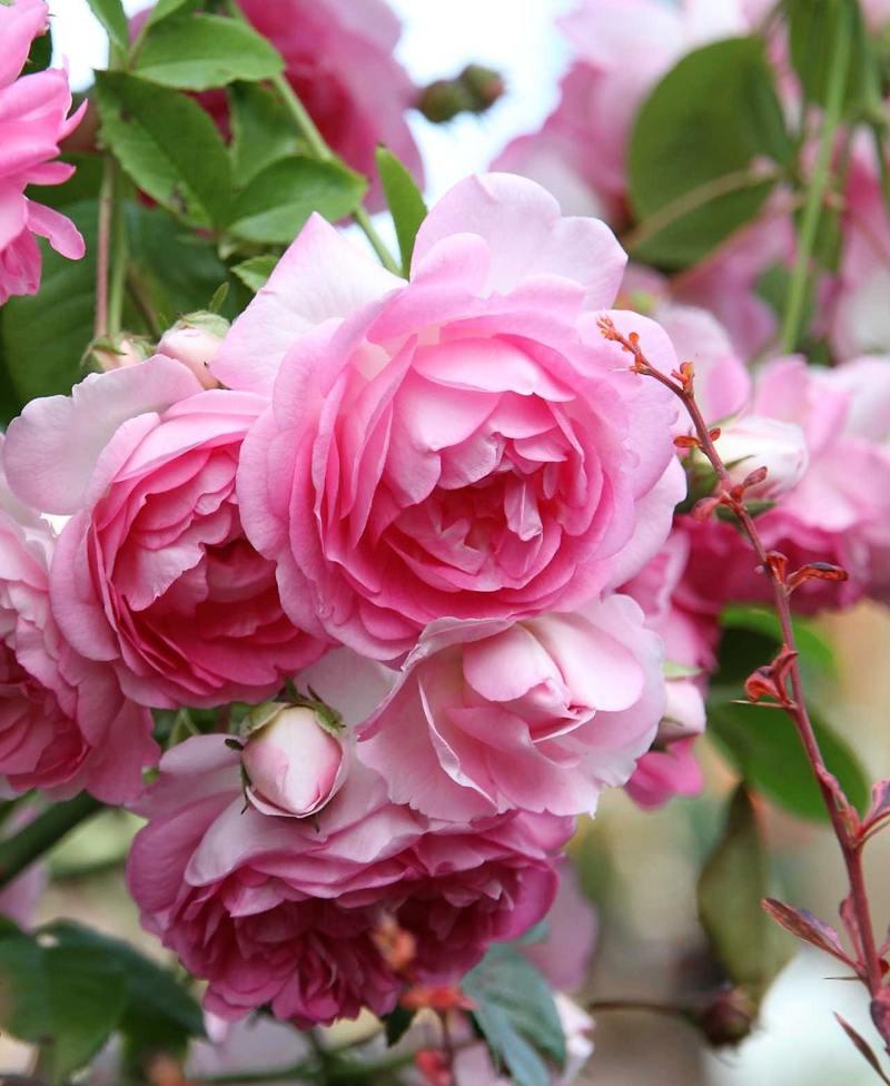 Троянда Жасміна (Jasmina)