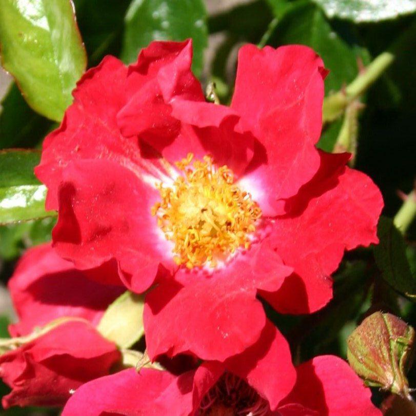 Роза Зоммерабенд (Sommerabend) красные розы, почвопокровные розы