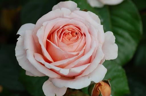 Роза Антико Аморе (Antico Amore) ароматные, устойчивая к болезням, абрикосовые розы