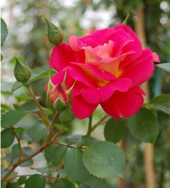 Роза Баяццо (Bajazzo) розовая роза, устойчивая к болезням