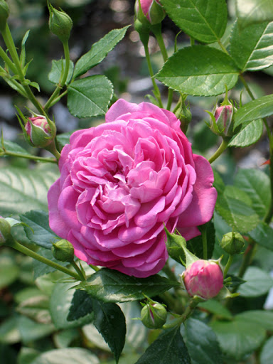 РозаБлю Бой (Blue Boy) розовая роза