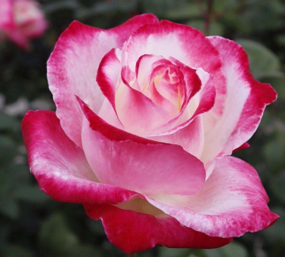 Роза Коломбина (Colombina)