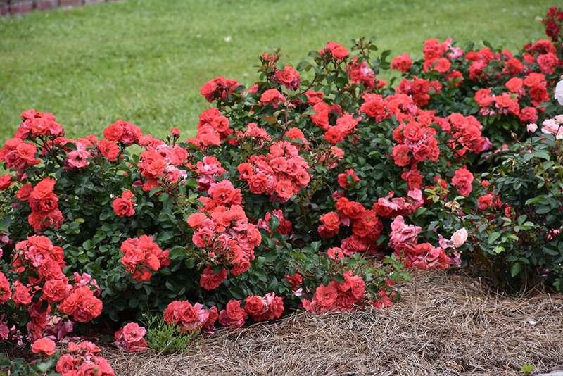 Роза Корал Дрифт (Coral Drift) розовая роза, почвопокровные розы, оранжевые розы