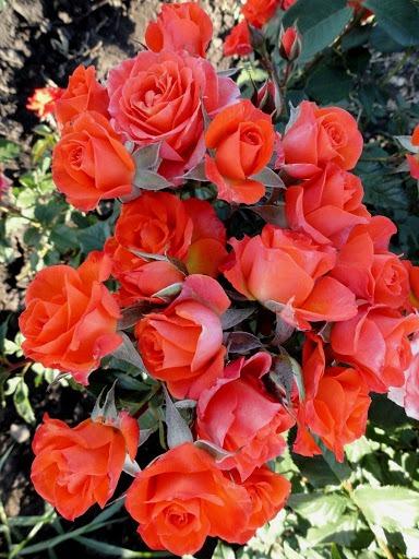 Роза Алегрия (Alegria) почвопокровные розы, оранжевые розы