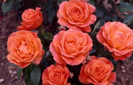 Роза Феллоушип (Fellowship) оранжевые розы, абрикосовые розы