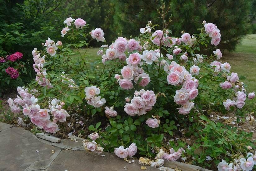 Роза Лавли Мейян (Lovely Meilland) розовая роза, почвопокровные розы