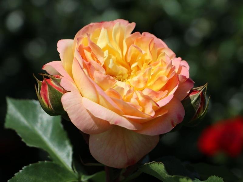 Роза Лампион(Lampion) розовая роза, желтые розы, устойчивая к болезням, двухцветные розы, для срезки
