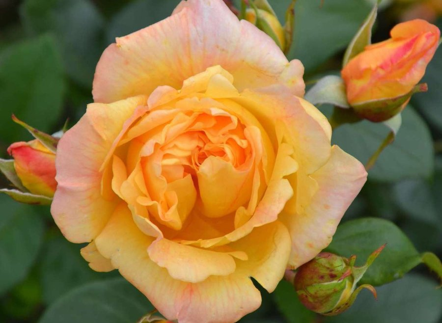 Троянда Мішка (Michka)