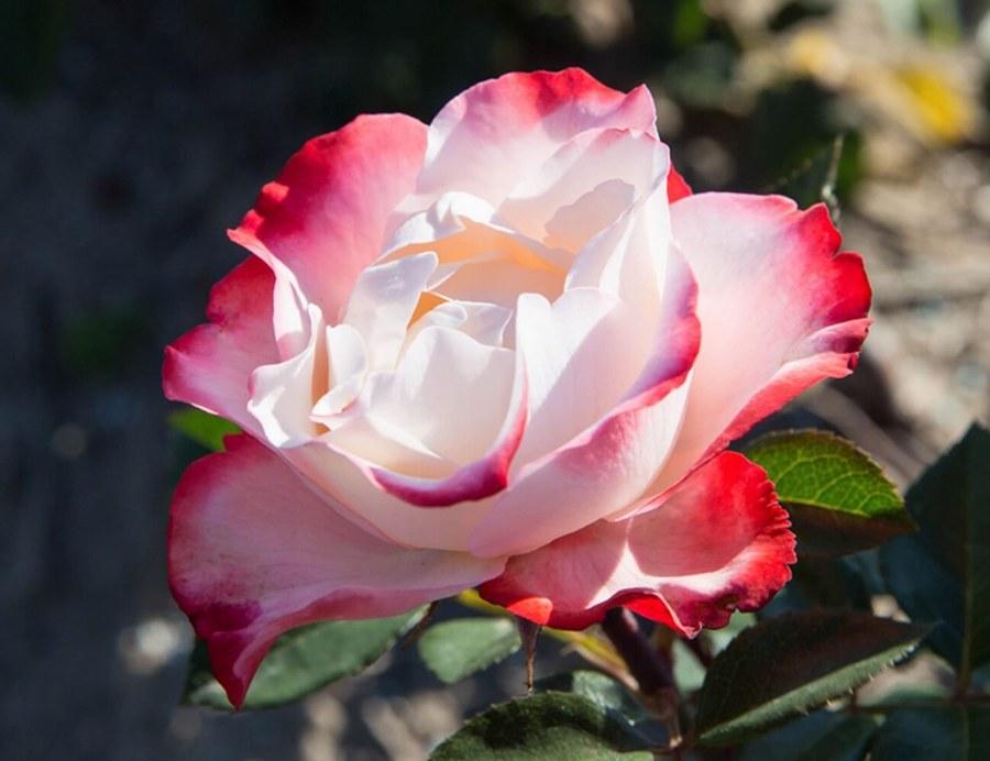 Роза Ностальжи (Nostalgie) ароматные, двухцветные розы