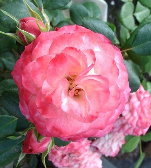 Роза Пат Де Велюр (Patte de Velours) розовая роза, устойчивая к болезням, почвопокровные розы