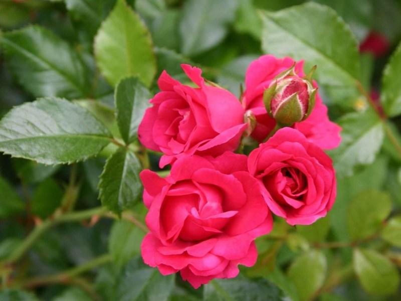 Роза Роди (Rody) малиновые розы, устойчивая к болезням