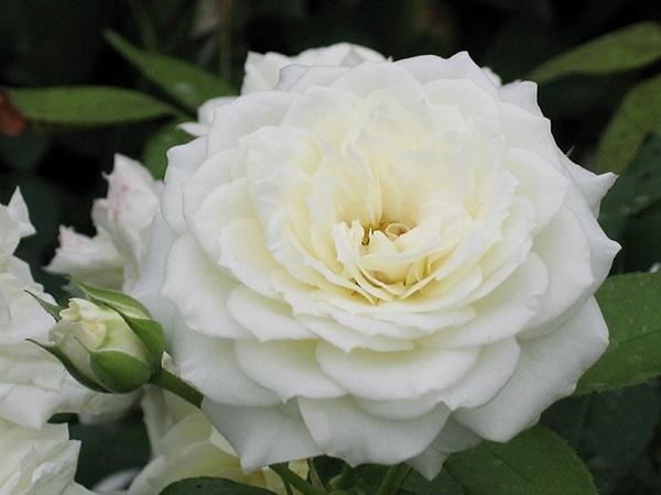 Роза Алабастер (Alabaster) устойчивая к болезням, почвопокровные розы, белые розы