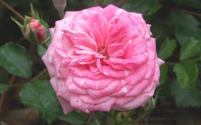 Роза Дрифт свит (Rose Sweet Drift) розовая роза, почвопокровные розы