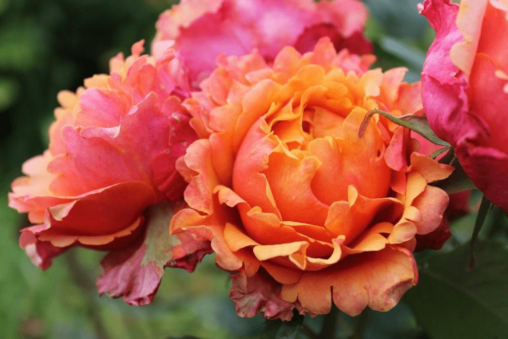 РозаИзи Даз Ит (Easy Does It) розовая роза, устойчивая к болезням, персиковая роза