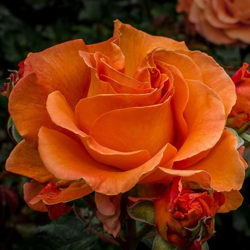 Роза Таттон(Tatton) устойчивая к болезням, оранжевые розы