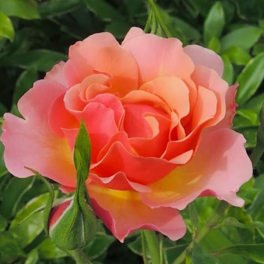 Роза Жан Кокто (Jean Cocteau)
