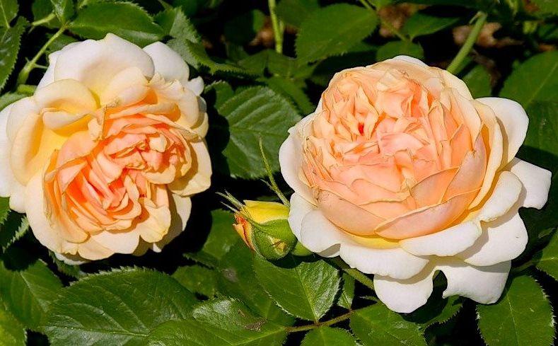 Роза Женевьев Орси(Genevieve Orsi) ароматные, устойчивая к болезням, абрикосовые розы