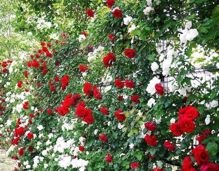 Все наши розы