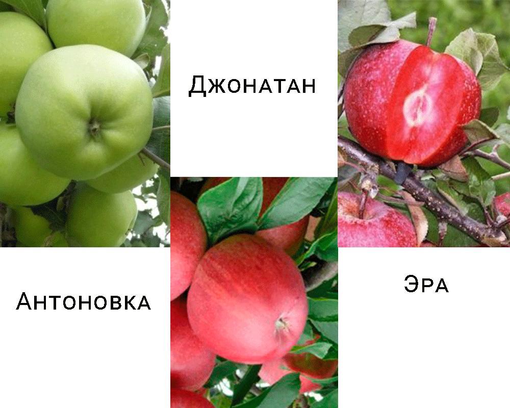 Дерево-сад яблуня Антонівка - Джонатан - Ера