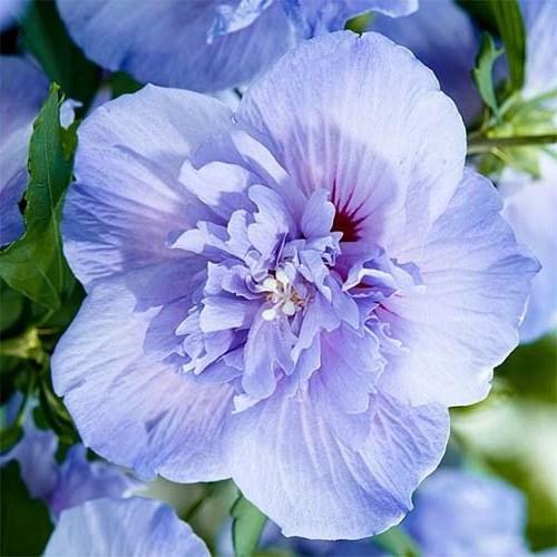 Гібіскус сірійський Блю Шифон (Blue Chiffon) Декоративні кущі