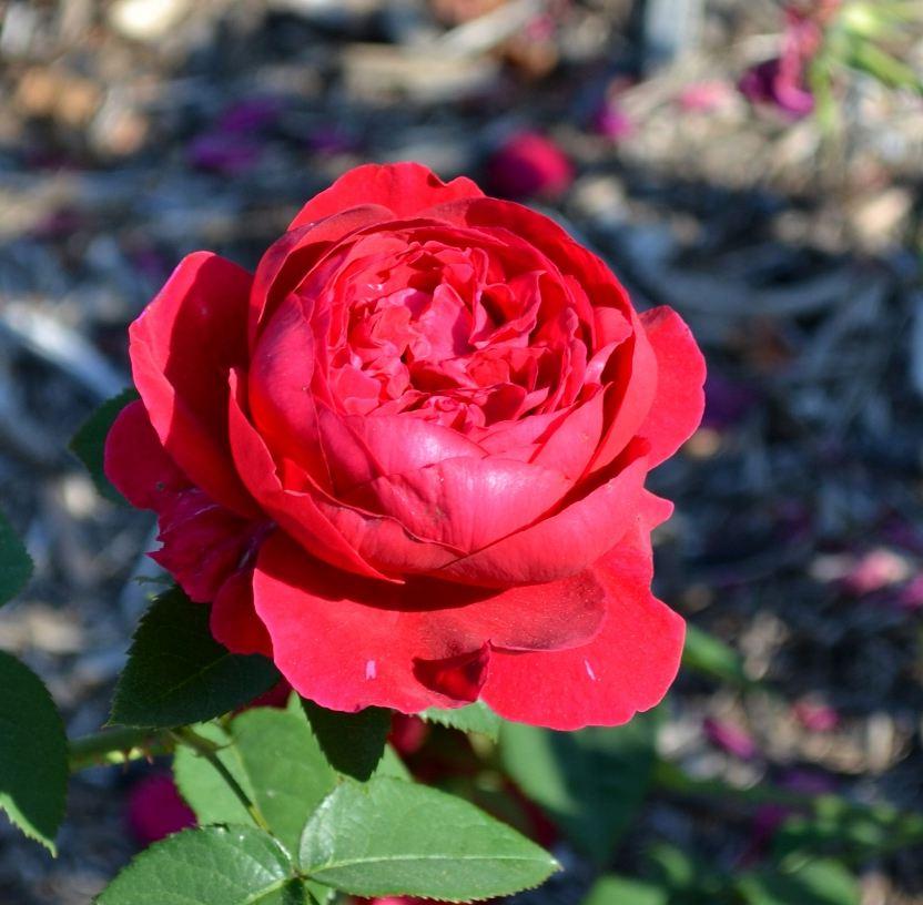 Троянда Ел Ді Брейтуейт (L.D.Braithwaite)