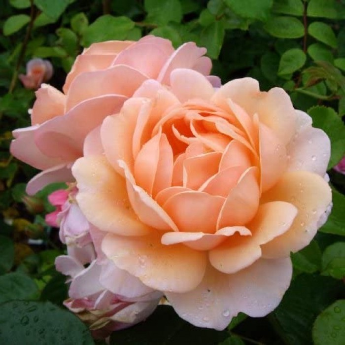 Роза Элизабет Стюарт (Elizabeth Stuart)