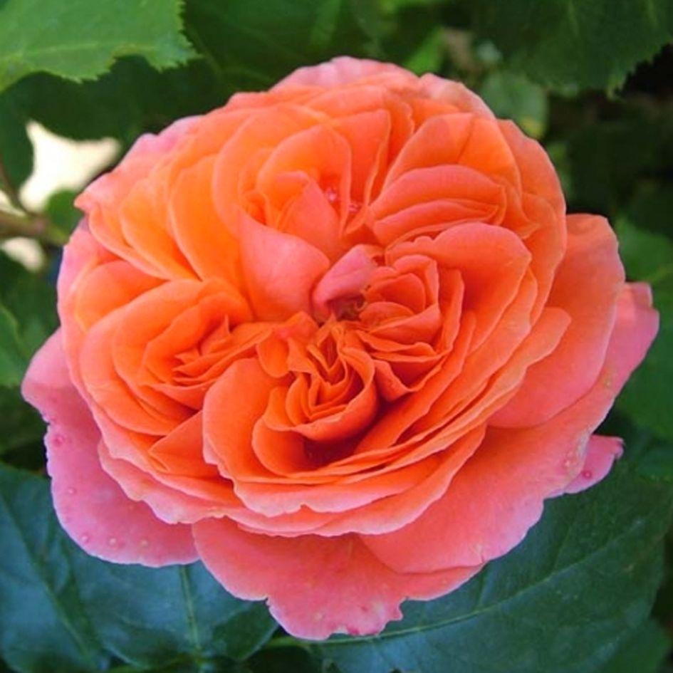 Роза Эмильен Гийо(Emilien Guillot) абрикосовые розы