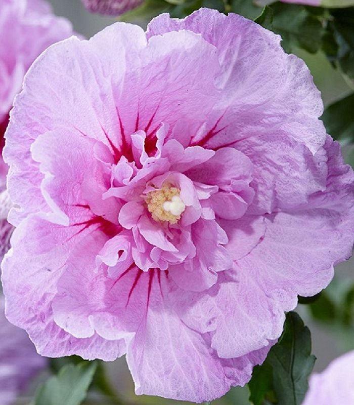 Гибискус Лавендер Шиффон (Lavender Chiffon) Декоративные кустарники
