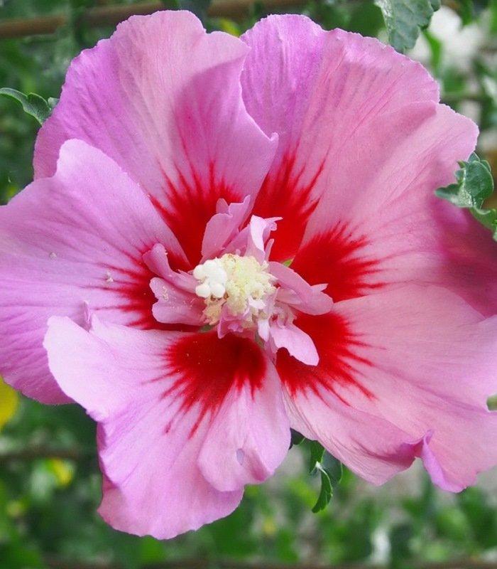Гибискус Пинк Джаент (Pink Giant) Декоративные кустарники