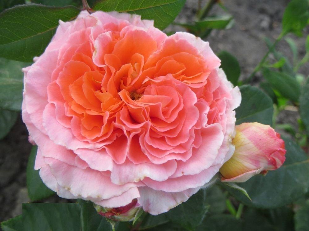 Роза Мами Дитьер(Mamie Dittiere)