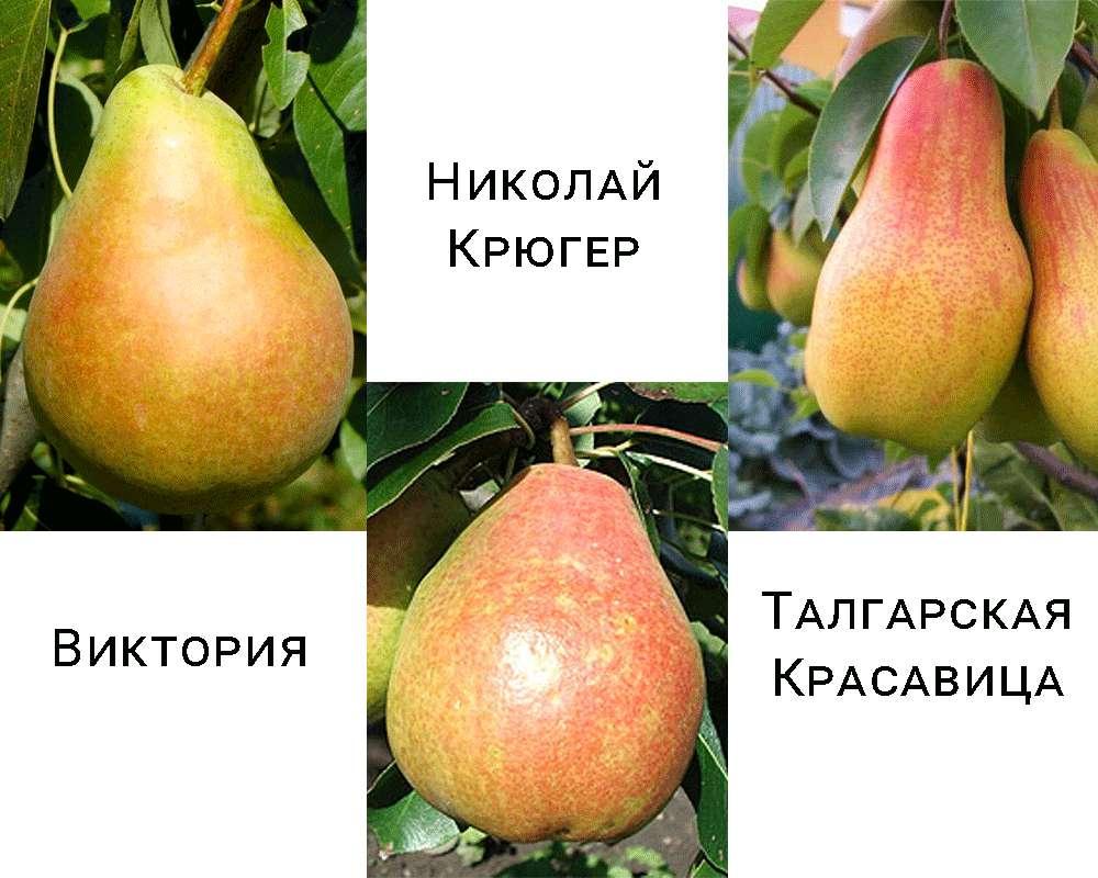 Дерево-сад груша Виктория - Николай Крюгер - Талгарская Красавица