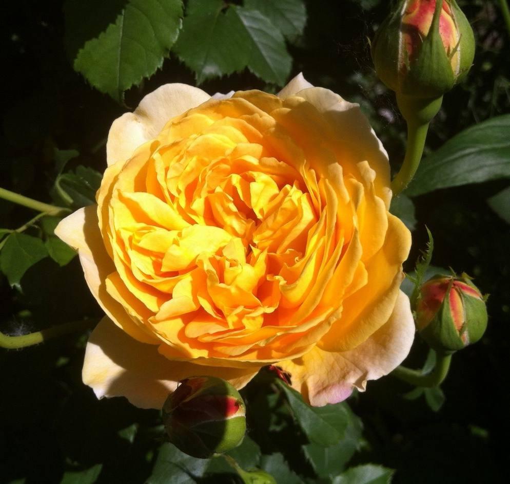 Роза Голден Селебрейшн (Golden Celebration) желтая роза, ароматные, устойчивая к болезням