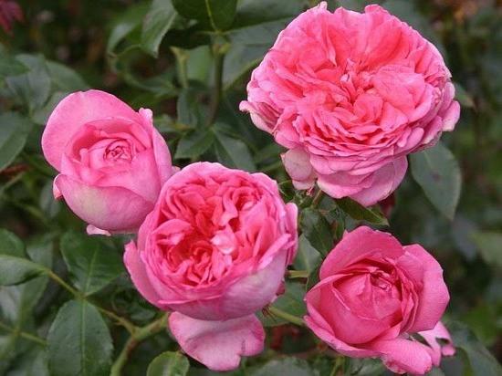 Роза Ля Роз де Молинар(La Rosede Molinard)