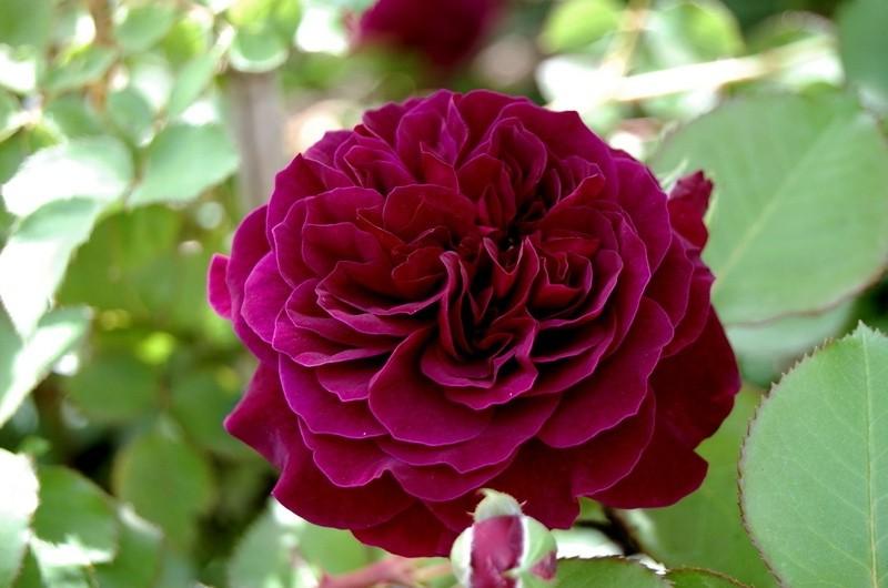 Роза Традескант(Tradescant)