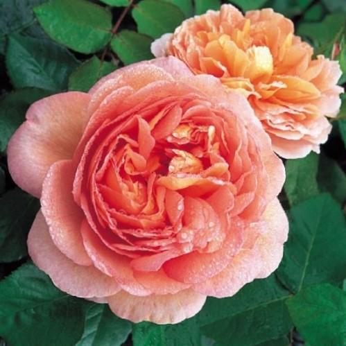 Троянда Абрахам Дерби (Abraham Darby)
