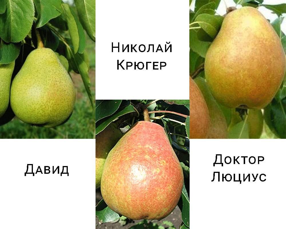 Дерево-сад груша Давид-Микола Крюгер-Доктор Люціус