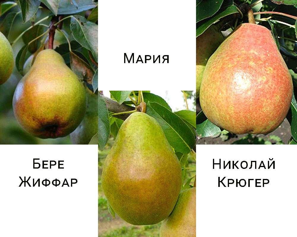 Дерево-сад груша Николай Крюгер-Бере Жиффар-Мария