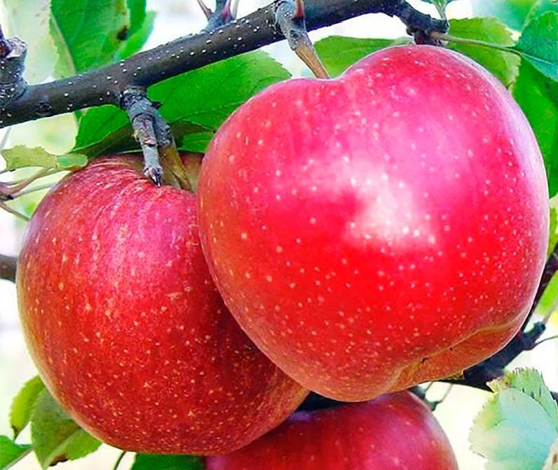 Яблоня Гала Шнига