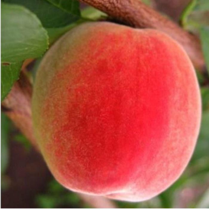 Персик Улюбленець