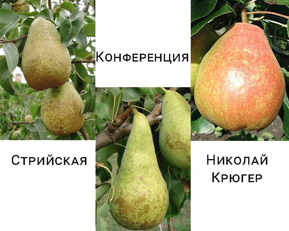 Дерево-сад груша Стрийська-Микола Крюгер-Конференція