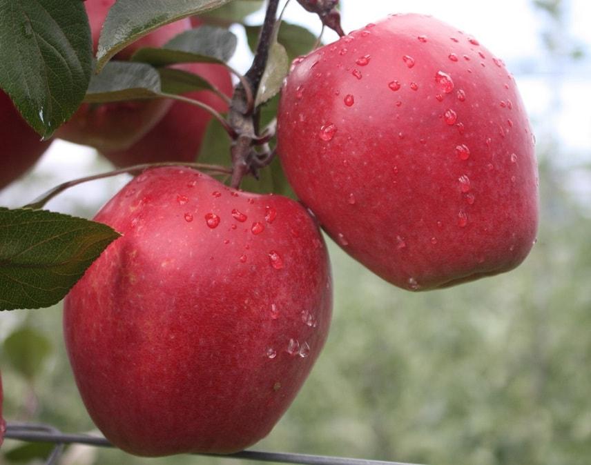 Яблоня Одиссо (Odisso)